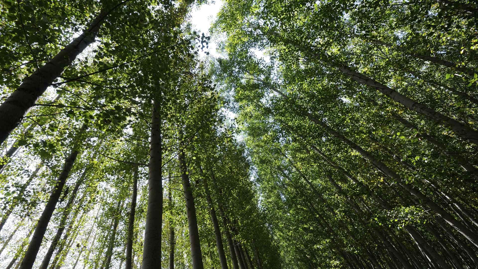 forêt de peupliers